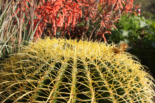 Desert Botanical Garden Cactus, Phoenix, AZ, Photo copyright 2010 Mark Dahle